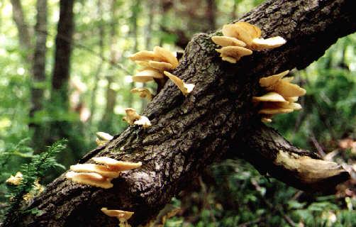 Adeb diagnostics et expertises immos et b timents - Champignon qui pousse sur les arbres ...