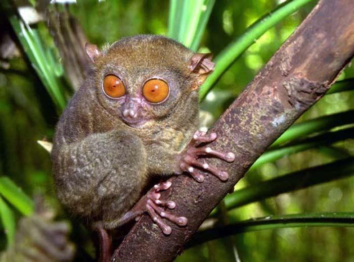 Le tarsier - Animaux a gros yeux ...
