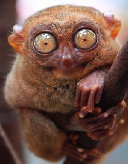 Le tarsier, minuscule et discret primate, communique par ultrasons