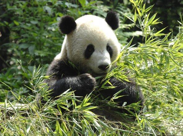 Le panda g ant - Image de panda a imprimer ...