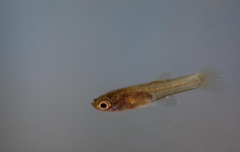 alevin guppy evolution