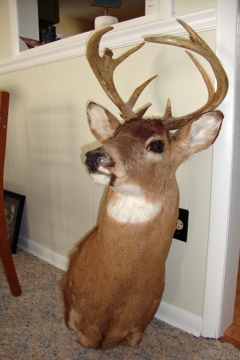 mounted deer head for sale. Black Bedroom Furniture Sets. Home Design Ideas