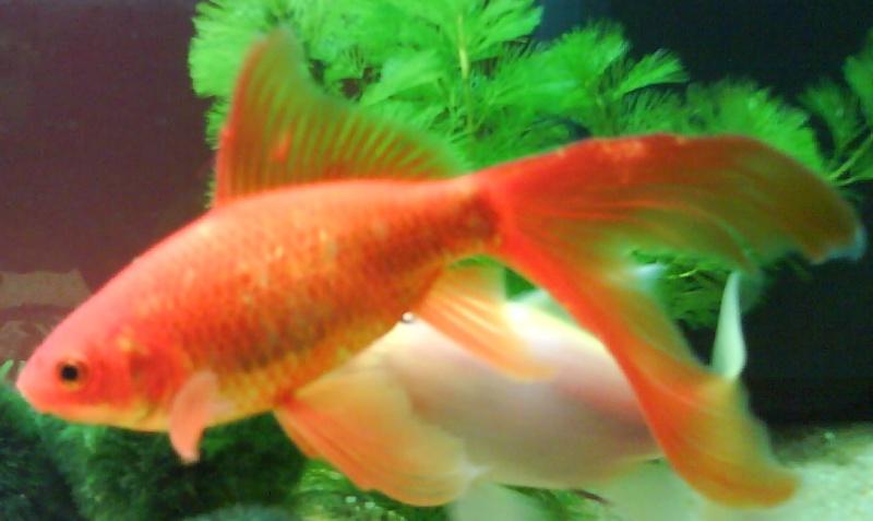Cohabitation poisson rouge for Acheter poisson rouge 77
