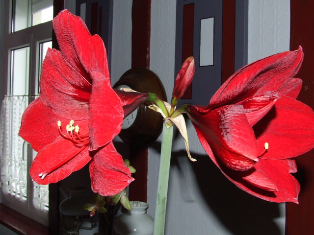 Amaryllis royal red page 2 for Amaryllis royal red arrosage