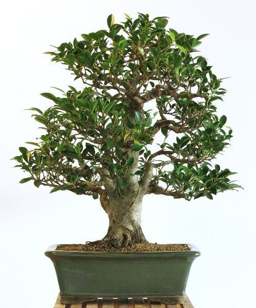 bonsai umtopfen umtopfen bonsai umtopfen bonsai umtopfen. Black Bedroom Furniture Sets. Home Design Ideas