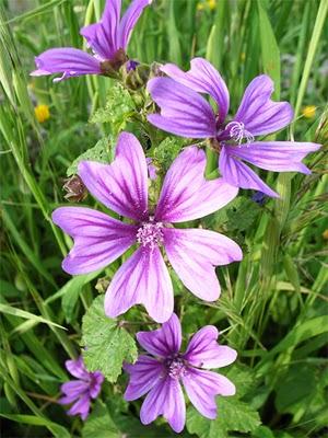 Fleurs Mauves Sauvages Euroseconde