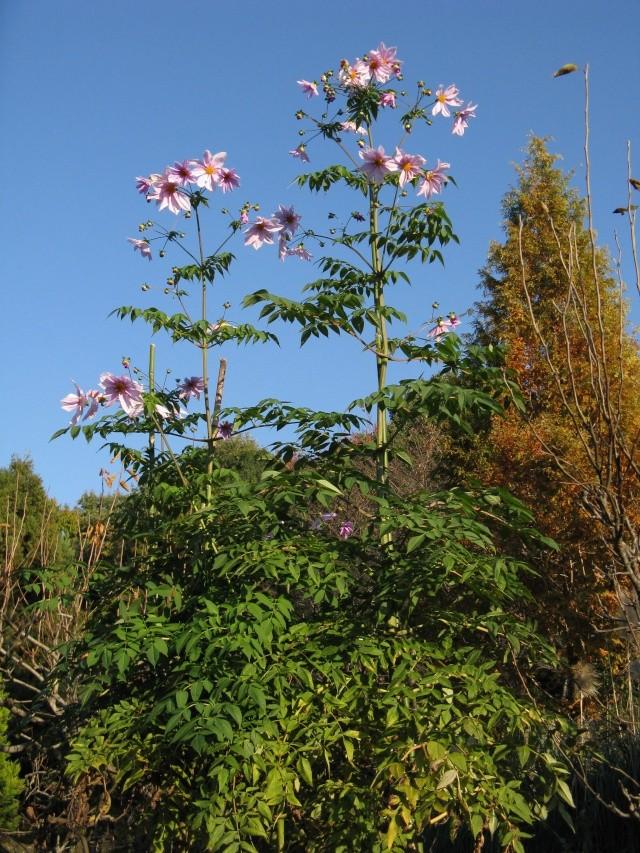 Dahlia imperialis ou dahlia en arbre for Arbre qui pousse rapidement