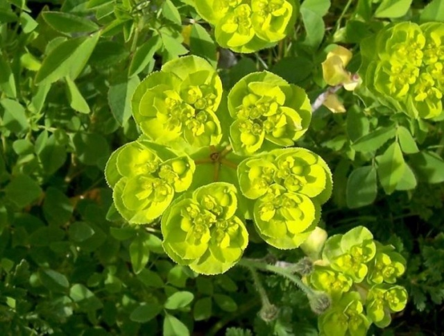 Euphorbia helioscopia (Euphorbe réveil,matin)