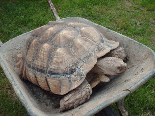La tortue sillonn e centrochelys sulcata - Lampe chauffante tortue ...