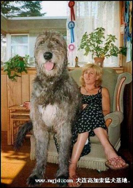 race très grand chien